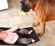 Hunden får syn på bebisen i babysittern. Det som sker sen fick matte att skratta rakt ut!