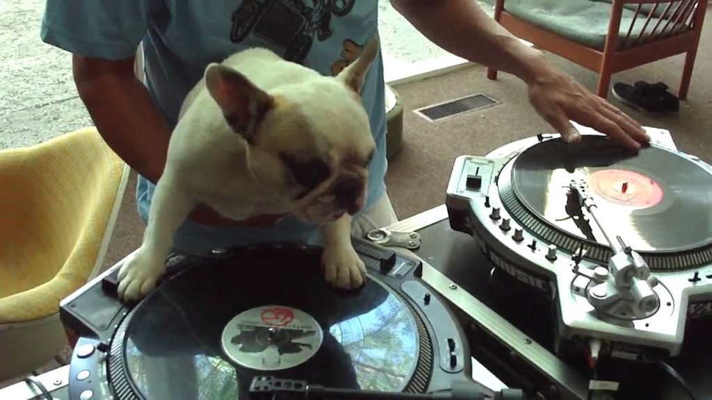 Den franska bulldoggen är världens bästa DJ – kolla in själva!