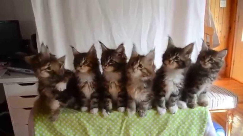 Dessa kattungar är syskon och de har alla en gemensam egenhet – kolla in klippet!
