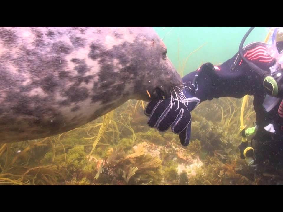 Den vilda sälen kräver att dykaren ska klia honom på magen!