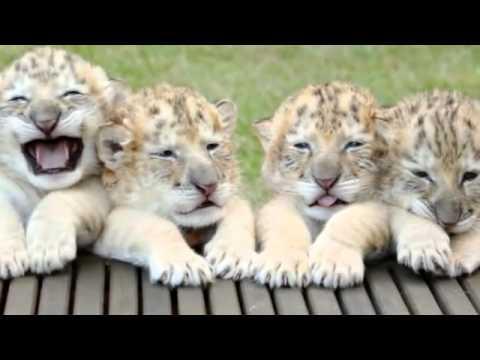 Ett lejonet och en tigern har fått ungar. De liknar inget vi sett tidigare!
