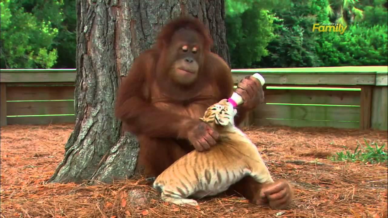 Orangutangen älskar sitt träd, men varje dag klättrar han ner och gör detta!