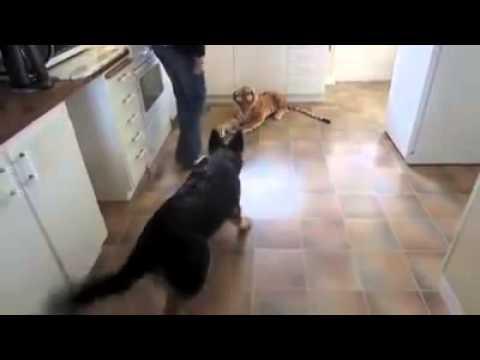 De placerar en låtsastiger i köket. Hundens reaktion är hysteriskt rolig!