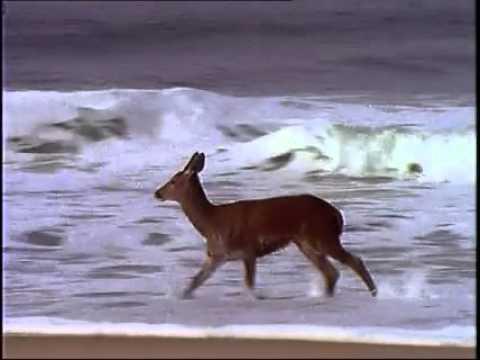 Hjorten sprang vilse, men se vad som händer när den upptäcker vågorna!