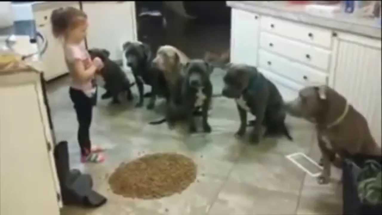 En liten flicka visar 6 pitbulls var skåpet ska stå!