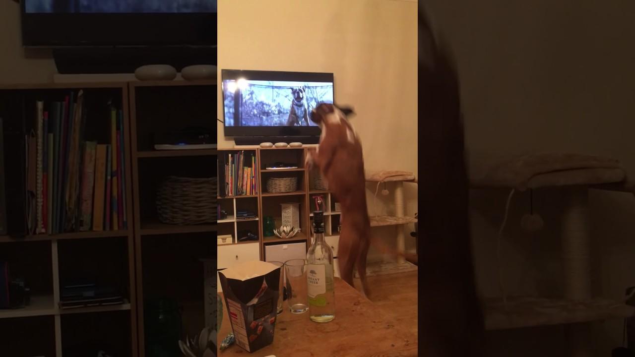 Julreklamen från John Lewis visas på tv. Det hunden gör då är helt fantastiskt!