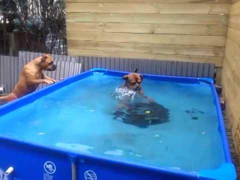 Två bulldoggar försöker tillsammans fånga upp ett däck från poolen. Deras samarbete är riktigt imponerande!