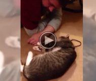 Han vill gå på promenad med katten, men då gör den något som är hysteriskt roligt!