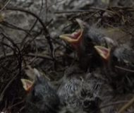 De övergivna fågelungarna skriver efter mat. Du kan aldrig gissa vem som matar dem! Fantastiskt!