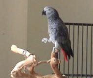 Papegojans musikaliska sinne har överrumplat hela Internet. Wow!