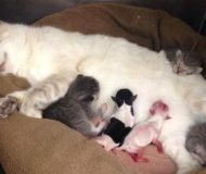 Katten blir adoptivmamma till två för tidigt födda valpar. Detta är deras första möte!