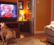 Bulldoggens reaktion till en klassisk scen i musikalen Annie är helt fantastisk. Kolla in detta!