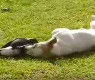 Hunden biter skatan i benen. Men se nu fågelns reaktion! Det här är så fint!