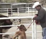 Kossan och kalven får äntligen återförenas, och det som sker då fick mig att fälla en tår.