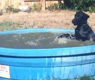 Hunden har fått syn på familjens pool. Jag är glad att husse lyckades filma detta!
