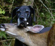En föräldralös hund och ett rådjur träffades som små. Men ingen anade vad som skulle hända sen!