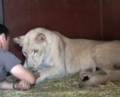 Lejonhonan har precis fött. Men när djurskötaren närmar sig henne gör hon detta!
