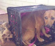 Hunden är ledsen eftersom hon saknar sina valpar. Se när de äntligen återförenas!