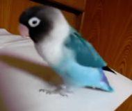 När papegojans favoritlåt drar igång händer något som fick mig att tappa hakan!