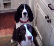 Hundarna väntar snällt på sin middag- kolla vad som händer när husse ska servera!