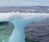 Räven sitter fast på högt isberg. Kolla in vad som händer när han räddas. Fantastiskt!