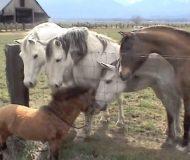 Den lilla hästen går fram för att hälsa på sina nya vänner. Kolla in vad som händer då!