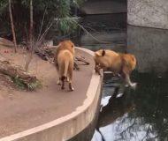 Filmen på lejonet som trillar ner i vattnet har setts av tusentals. Kolla in detta!