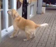 Varje dag springer hunden över till grannen, bara för att göra detta!
