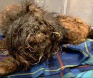 Hunden räddades från gatan och efter att den blivit klippt, tittar ett par supergulliga ögon fram!