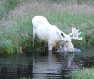 En ovanlig vit älg i Sverige bestämmer sig för att ta ett dopp. Kolla in vad som händer i vattnet!