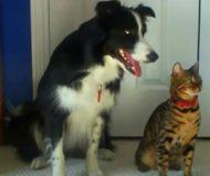 Familjens hund utför ett trick, men det ingen kunde ana var vad katten bredvid gjorde då!