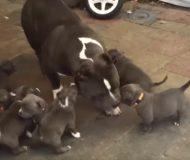 En stor skara helt galna valpar attackerar Pitbullen – men hundens försvar är helt underbart!