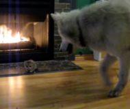En pytteliten kattunge ska presenteras för familjens hund. Mötet som sker blev otroligt oväntat!