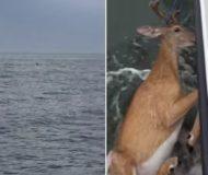 Fiskarna upptäcker en hjort långt ute i vattnet och bestämmer sig för att agera direkt!