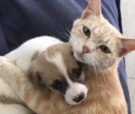 Det här är berättelsen katten som adopterade små hundvalpar, precis som om de var hennes egna!