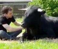 Tjuren som tidigare tvingades fäktas får nu den kärlek den förtjänar. Underbart!