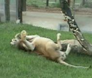 Lejonet befrias från 12 år av fångenskapen. Kolla reaktionen när han får syn på en grön gräsmatta!
