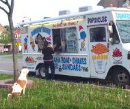 När pitbullen hör glassbilen rusar hon snabbt till kön. Hon fullkomligt älskar glass!