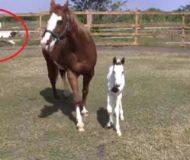 Fölet är bara 2 dagar gammalt och ute i hagen, kolla in vad de andra hästarna i bakgrunden gör då!