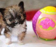 Kolla in världens minsta hund. Han är även nominerad till den sötaste!