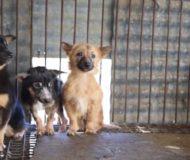 26 hundar räddas från en köttfabrik. Se deras första möte i frihet. Underbart!